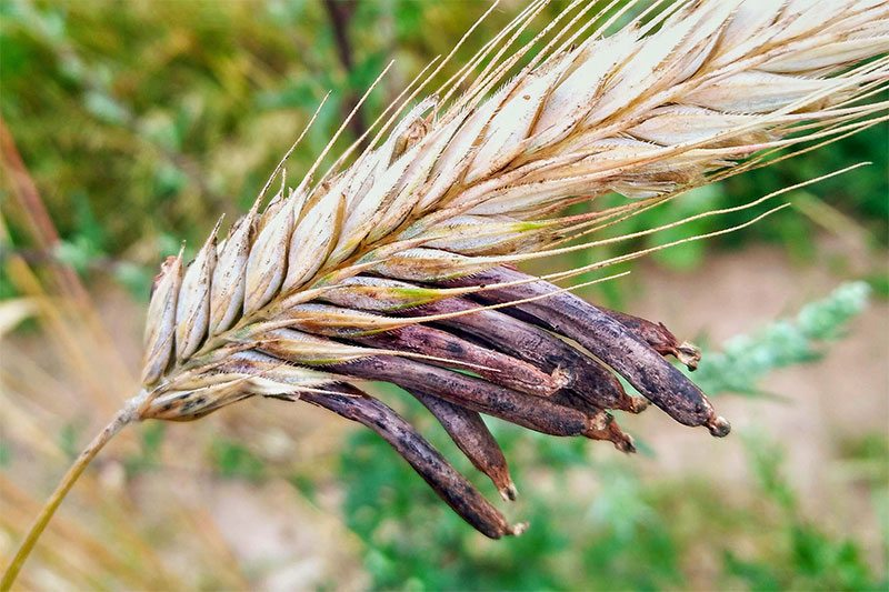 Спорынья пурпурная - гриб, паразитирующий на культурных злаках, в основном ржи и пшеницы
