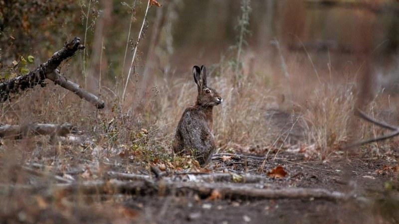 У зайцев очень хорошо развит слух, зрение и обоняние