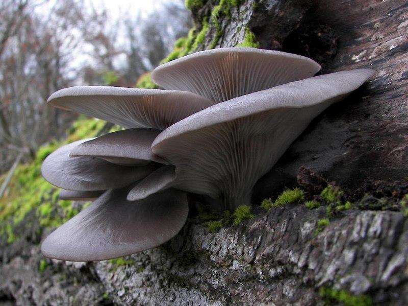 Вешенка обыкновенная устричная - съедобный гриб, который растет на пнях и корнях лиственных деревьев