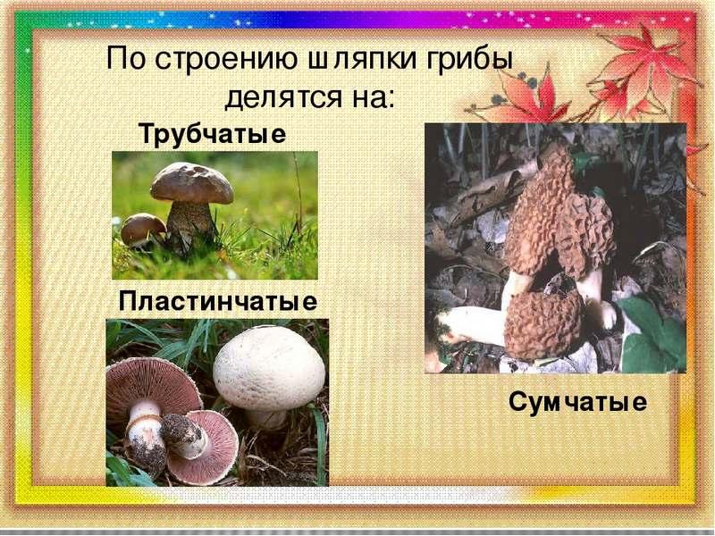 Виды грибов по строению шляпки