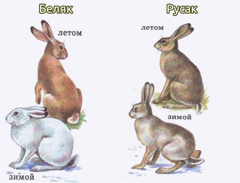 Виды зайцев, обитающих в России