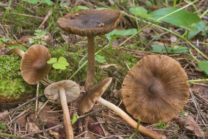 Волоконница волокнистая - ядовитый гриб, вызывающий желудочно-кишечное отравление