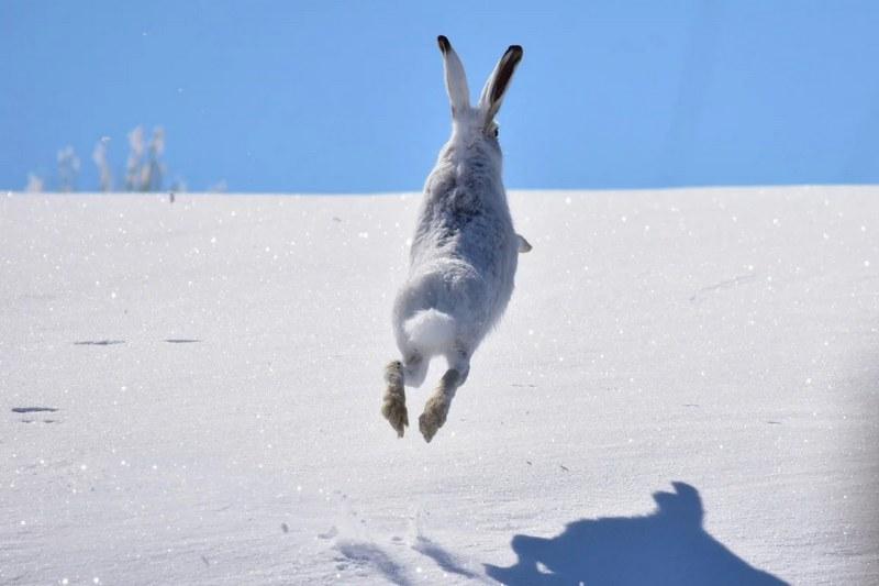 Встревоженный охотником заяц делает свой обычный круг, возвращается к месту лежки