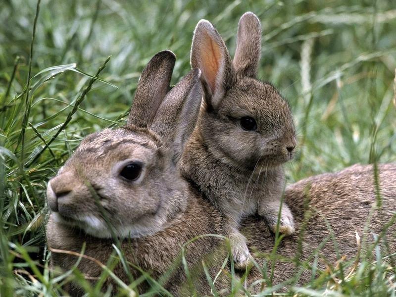 Зайцы-травники