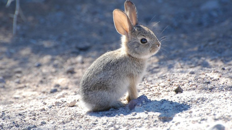 Заяц-настовик