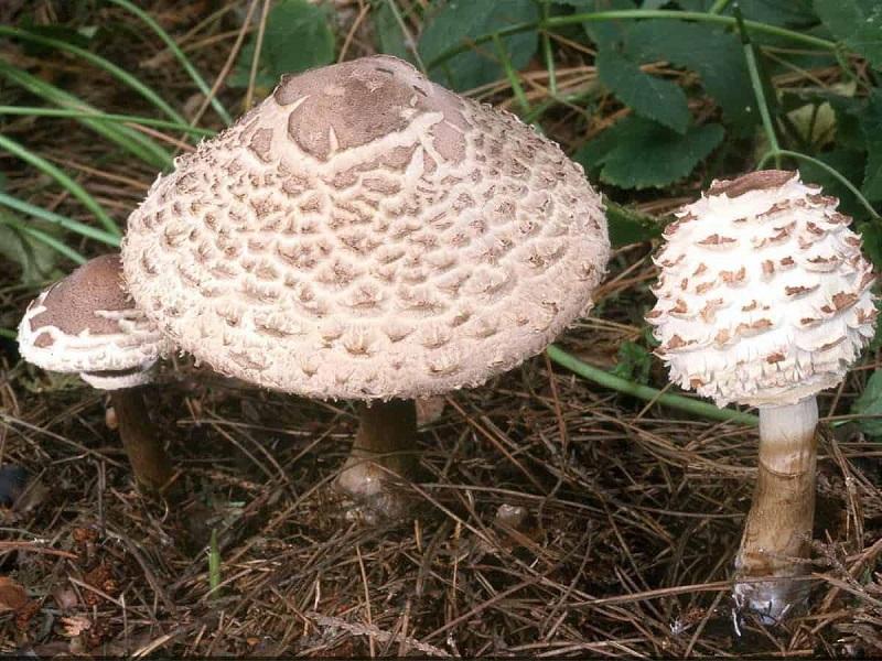 Зонтик чешуйчатый содержит в своем составе опасные яды, вызывающие смертельные отравления