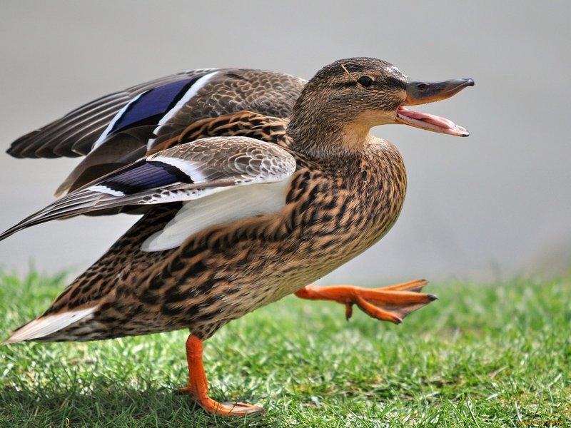 Наиболее подходящими для охоты считаются утки, издающие низкий учащенный крик