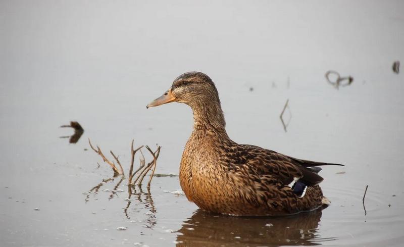 Подсадная утка является особой породой домашних уток (помесью кряквы и домашней)