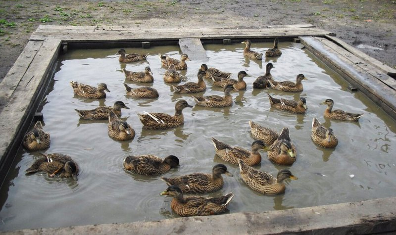 Начать приучать утку к воде лучше в начале весны