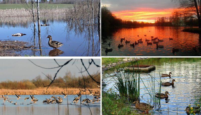 Уток можно найти во многих заводях, заливчиках, на прудах, озерах и реках